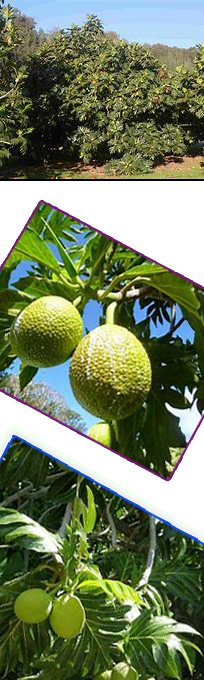 Ulutopia is a research field at Kauai Community College for  Breadfruit